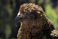 Kea (Nestor notabilis) in New Zealand stock photo