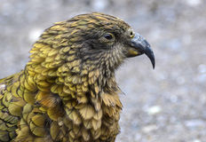 Kea, Nestor notabilis, New Zealand Royalty Free Stock Images