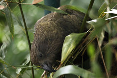 Kea (Nestor notabilis). Stock Photography