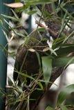 Kea (Nestor notabilis). Stock Photo