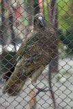 Kea (Nestor notabilis). Stock Images