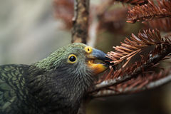Kea (Nestor notabilis). Stock Photo