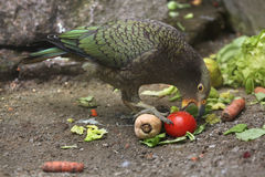 Kea (Nestor notabilis). Royalty Free Stock Photos