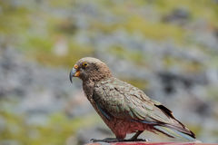 Kea, Neuseeland-Eingeborenvogel Lizenzfreies Stockbild