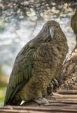 kea New Zealand arkivbild