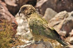 Kea, New Zealand Stock Photo