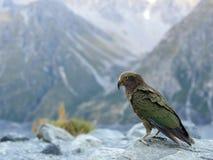 Kea - New Zealand Bird Stock Images