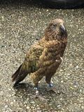 Kea New Zealand eagle stock photography