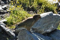Kea. New Zealand, Nestor notabilis Stock Photos