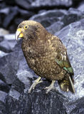Kea Royalty Free Stock Images