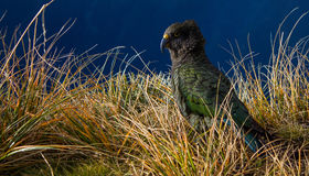 Kea. New Zealand Kea waiting for his next target Stock Image