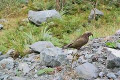 Kea in Nieuw Zeeland Stock Afbeelding