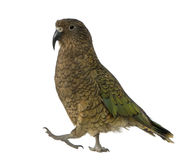 Kea, notabilis de Nestor, um papagaio Imagem de Stock