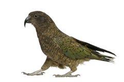 Kea, notabilis del Nestor, un pappagallo, levantesi in piedi Immagini Stock