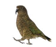 Kea, notabilis van Nestor, een papegaai Stock Afbeelding