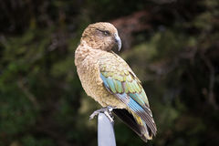 Kea, Nowa Zelandia ptak Obraz Stock