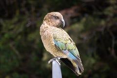 Kea nyazeeländsk fågel Fotografering för Bildbyråer