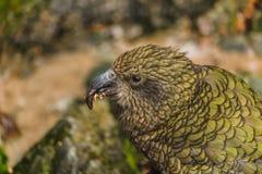 Kea - nyazeeländsk papegoja för inföding på bilen, södra ö, Nya Zeeland arkivbild