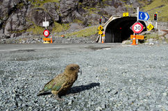 Kea - nyazeeländskt djurliv NZ NZL arkivbilder