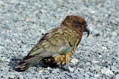 Kea - nyazeeländskt djurliv NZ NZL royaltyfri fotografi