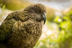 Kea NZ Green parrot fluffing up feathers to keep warm. Green native and endangered parrot at sanctuary in NZ Stock Photography