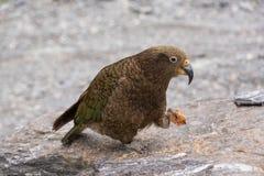 Kea papuga Zdjęcia Royalty Free