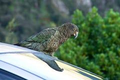 Kea papuga Obrazy Stock