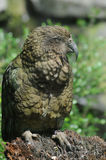 Kea parrot  Royalty Free Stock Photo
