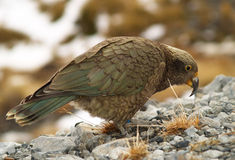 Kea parrot Stock Photos