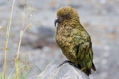 The Kea Parrot. New Zealand Royalty Free Stock Photos