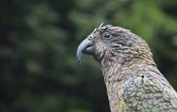 Kea parrot bird new zealand. Kea parrot bird in the rain with mountain background new zealand Royalty Free Stock Photography