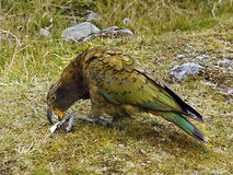 Kea Parrot Bird Stock Photos