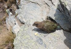 A Kea parrot eating a banana at the top of Ben Lomond near Queenstown in New Zealand stock photos