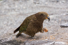 Kea Parrot Royalty Free Stock Photos