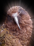 Kea parrot. Head of kea parrot with effect background Stock Images