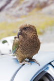 Kea Parrot landed on tourist's car Royalty Free Stock Image