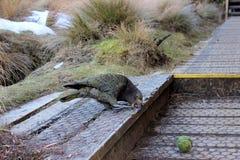 Kea, Parrot, Mountain Parrot, Bird Stock Photography