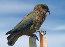 Kea parrot Royalty Free Stock Photography
