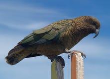 Kea parrot Stock Images