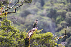 Kea is a parrot native to the South Island of New Zealand Royalty Free Stock Image