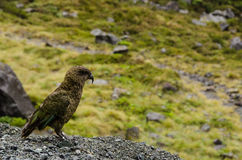 Kea parrot, Nestor notabilis. Royalty Free Stock Images