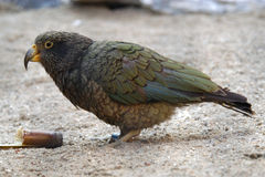 Kea parrot Stock Photography