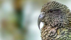 Kea parrot (Nestor notabilis) Stock Photography