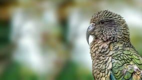 Kea parrot (Nestor notabilis) Royalty Free Stock Image