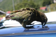 Kea parrot plays a robber and trying to get into a car Royalty Free Stock Photos