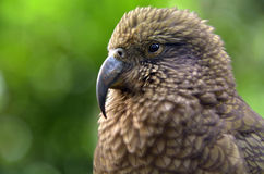 Kea parrot portrait Royalty Free Stock Photo