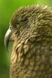 Kea parrot portrait. (Nestor notabilis).It's the world's only alpine parrot live in forested and alpine regions of the South Island of New Zealand Royalty Free Stock Photos
