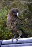 Kea parrot portrait. (Nestor notabilis). It's the world's only alpine parrot live in forested and alpine regions of the South Island of New Zealand Royalty Free Stock Images