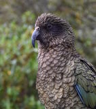 Kea parrot portrait. (Nestor notabilis). It's the world's only alpine parrot live in forested and alpine regions of the South Island of New Zealand Royalty Free Stock Photo