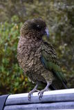 Kea parrot portrait. (Nestor notabilis). It's the world's only alpine parrot live in forested and alpine regions of the South Island of New Zealand Stock Photos